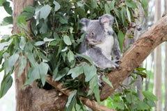 Медведь коалы на дереве Стоковые Фото
