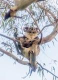 Медведь коалы отдыхая в дереве Стоковая Фотография RF
