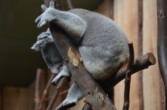 Медведь коалы садить на насест в дереве при его лапки держа ветви Стоковая Фотография