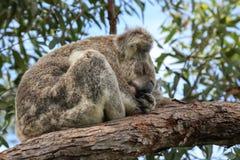 Медведь коалы спать австралийский Стоковые Фото