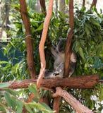 Медведь коалы спать в Австралии Стоковая Фотография