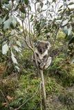 Медведь коалы спать в дереве Стоковое Изображение RF