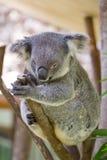 Медведь коалы Стоковые Изображения RF