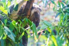 Медведь коалы Стоковое фото RF