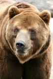 медведь коричневый kamchatka стоковое изображение