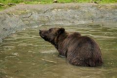 Медведь купает Стоковые Изображения RF