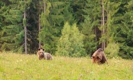 Медведь мати с новичком Стоковое фото RF