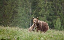 Медведь мати с новичком Стоковые Изображения RF