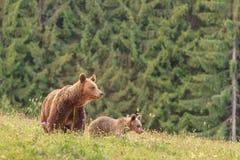 Медведь мати с новичком Стоковая Фотография RF