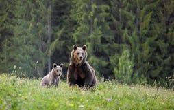 Медведь мати с новичком Стоковое Фото