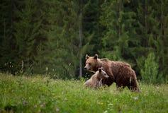 Медведь мати с новичком Стоковые Фото