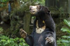 Медведь меда Стоковые Фотографии RF