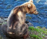Медведь на Аляске стоковые изображения rf