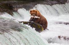 Медведь на Аляске стоковое фото rf
