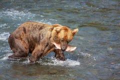 Медведь на Аляске стоковое изображение rf