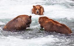Медведь на Аляске стоковые фото
