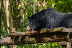 Медведь на падении воды Kouangxi prabang luang Лаоса Стоковое фото RF
