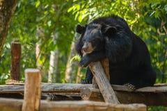 Медведь на падении воды Kouangxi prabang luang Лаоса Стоковые Изображения RF