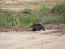 медведь на прогулке Arkivbilder