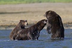 Медведь новичка медведя матери защищая от хряка Стоковые Изображения