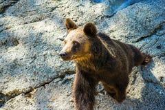 Медведь обнюхивать Стоковые Изображения