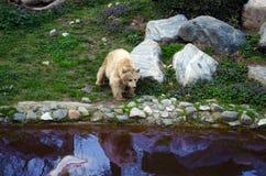 Медведь около озера Стоковые Фото