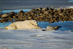 Медведь охлаждая путем класть на лед Стоковое Изображение