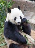 Медведь панды Стоковая Фотография RF