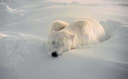 медведь приполюсный Стоковые Фотографии RF