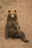 медведь смешной Стоковые Фото