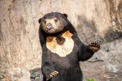 Медведь Солнця Стоковое Изображение RF
