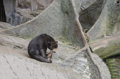 Медведь Солнця Стоковое Фото