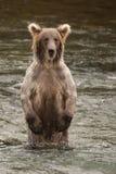 Медведь стоя на задних ногах в реке Стоковые Фото
