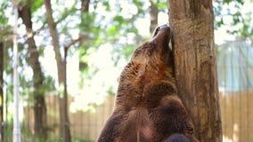 Медведь царапая на зоопарке акции видеоматериалы