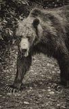 Медведь черно-белый Стоковая Фотография