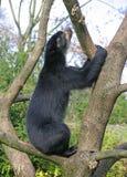 медведь 13 spectacled Стоковое Изображение
