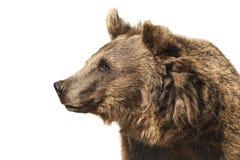 Медведь Стоковое фото RF