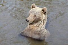 Медведь Brown в воде Стоковые Изображения RF