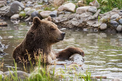 Медведь Grizzley фуражируя для еды Стоковые Фото
