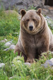Медведь Grizzley фуражируя для еды Стоковые Изображения