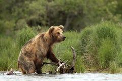 Медведь Grizzley фуражируя для еды Стоковая Фотография RF