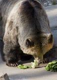 Медведь Grizzley фуражируя для еды Стоковое фото RF