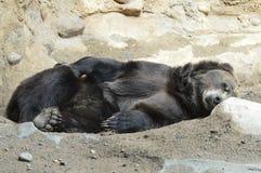 Медведь Grizzley фуражируя для еды стоковое фото