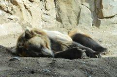 Медведь Grizzley фуражируя для еды стоковое изображение rf