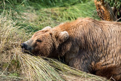 Медведь Momma napping стоковое фото rf