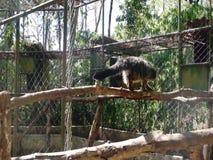Медведь Palawan Binturong Остров Palawan видеоматериал