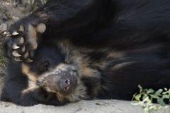 медведь spectacled Стоковое Изображение