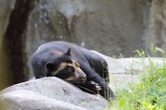 медведь spectacled Стоковые Изображения