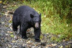 Медведь Tongass черный Стоковые Фото
