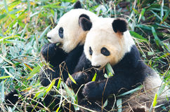 2 медведя гигантских панды есть бамбук, Китай Стоковое Изображение RF